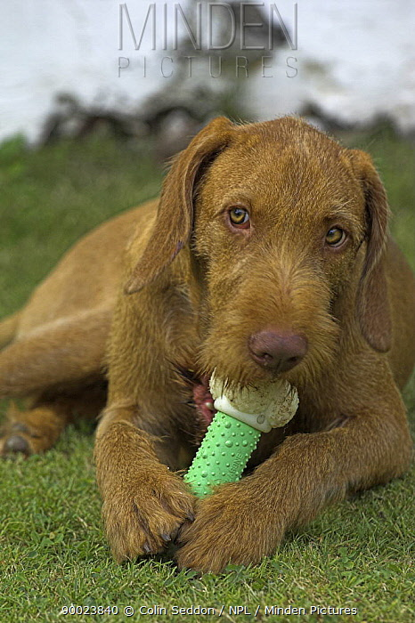 Hungarian Wirehaired Viszla, lying down and chewing plastic toy, UK  -  Colin Seddon/ npl
