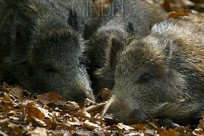 Wild Boar (Sus scrofa) juveniles sleeping in a beech forest at Wildpark in the Bavarian Forest, Germany  -  Philippe Clement/ npl