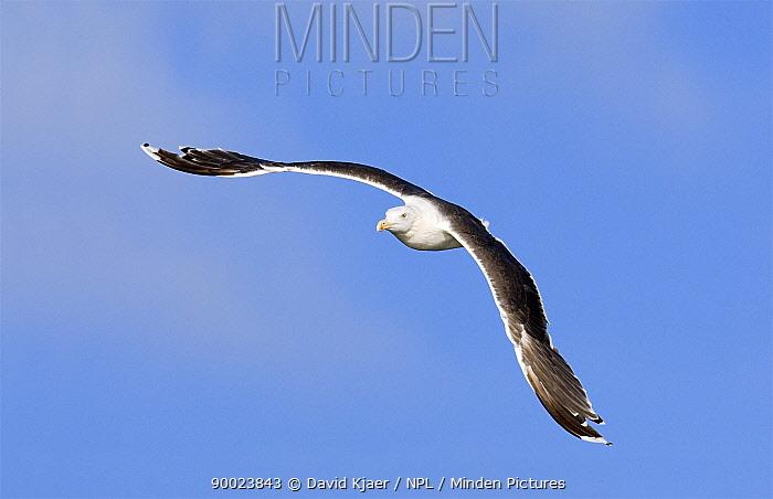 Lesser Black-backed Gull (Larus fuscus) in flight, Poland  -  David Kjaer/ npl