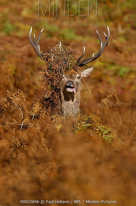 Red Deer (Cervus elaphus) male with bracken over antlers and tongue out in rutting season, autumn, Bradgate Park, Leicestershire, UK  -  Paul Hobson/ npl
