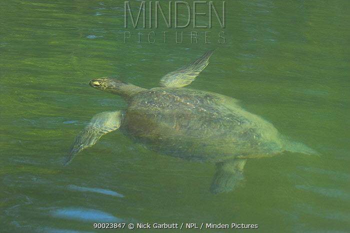 Green Sea Turtle (Chelonia mydas) swimming at the surface Elizabeth Bay, Isla Isabela, Galapagos, Ecuador  -  Nick Garbutt/ npl