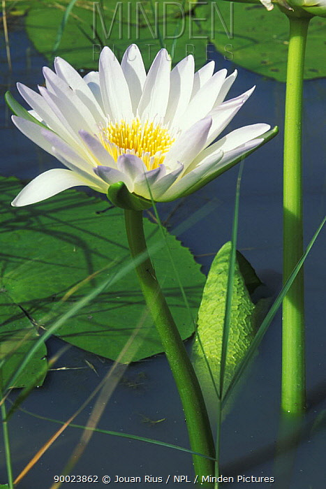 Water lily flowering in a swamp after the rainy season, Bushmanland, Namibia  -  Jouan & Rius/ npl