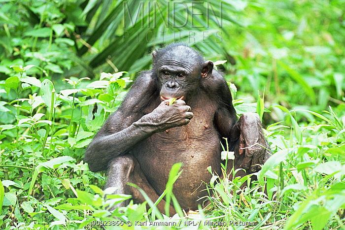 Bonobo (Pan paniscus) female adult feeding Lola Ya Bonobo Sanctuary, Kinshasa, Democratic Republic of Congo  -  Karl Ammann/ npl