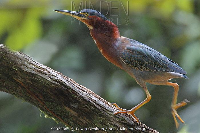 Rufescent Tiger-Heron (Tigrisoma lineatum) walking up branch, Costa Rica  -  Edwin Giesbers/ npl