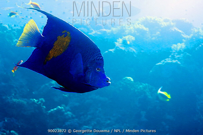 Map Angelfish (Pomacanthus maculosus) swimming close to the surface Red Sea, Egypt  -  Georgette Douwma/ npl