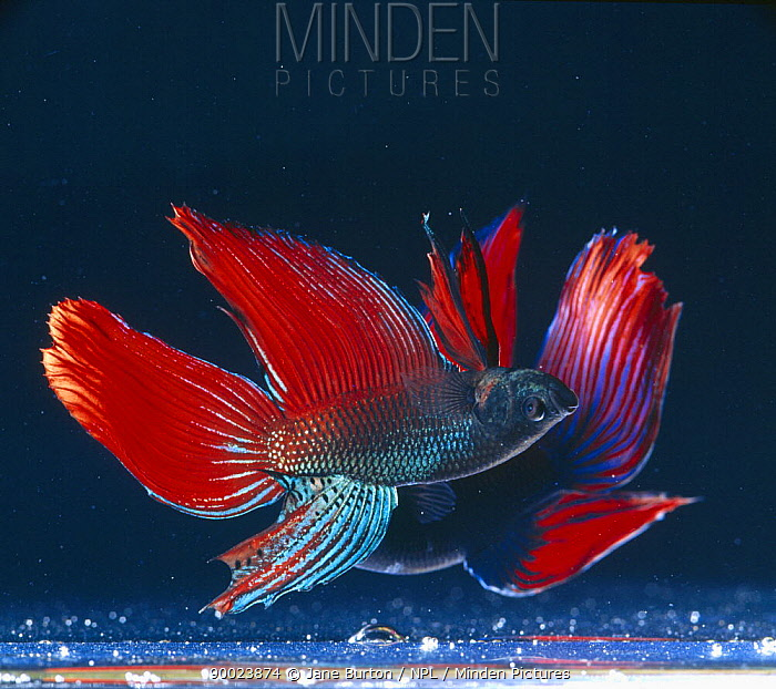 Siamese Fighting Fish (Betta splendens) two males in lateral display, captive, freshwater, from Malaysia and Thailand  -  Jane Burton/ npl