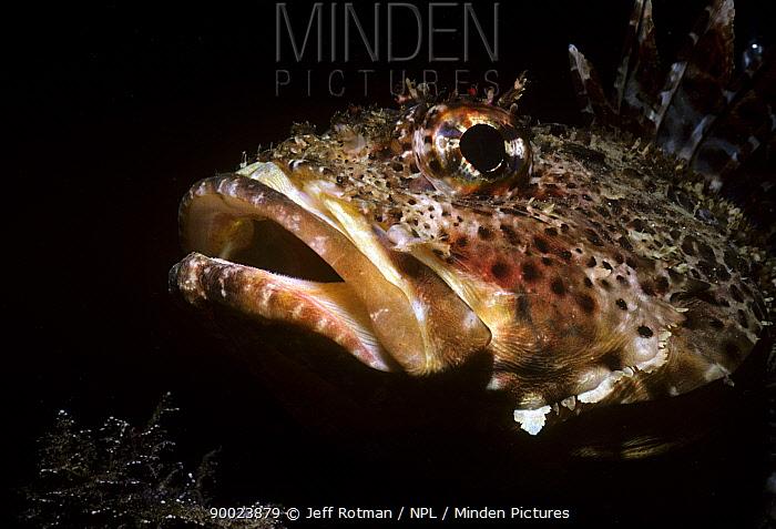 California Scorpionfish (Scorpaena guttata) Pacific ocean  -  Jeff Rotman/ npl