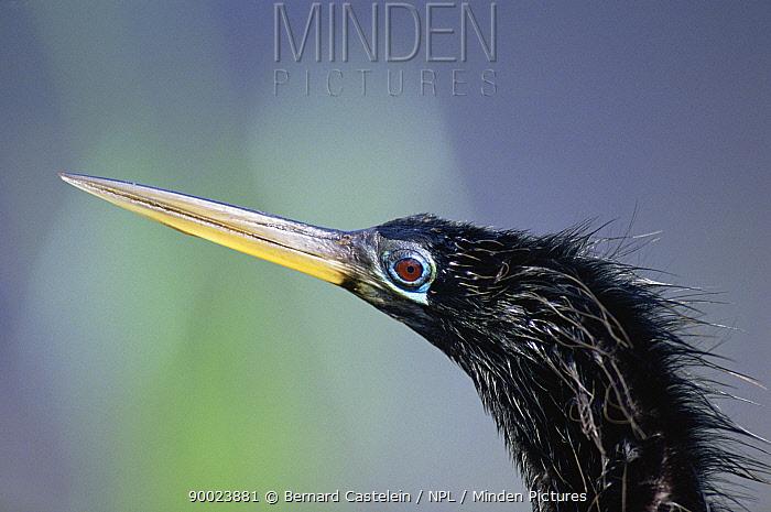 American Darter (Anhinga anhinga) head portrait, Everglades National Park, Florida  -  Bernard Castelein/ npl