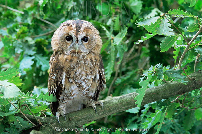 Tawny Owl (Strix aluco) juvenile perched in oak tree Captive United Kingdom  -  Andy Sands/ npl