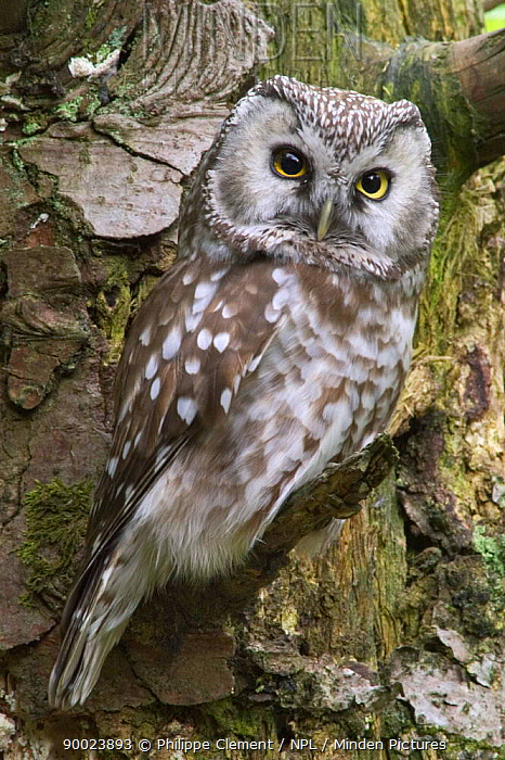 Boreal Owl (Aegolius funereus) captive, Bavarian Forest, Germany  -  Philippe Clement/ npl