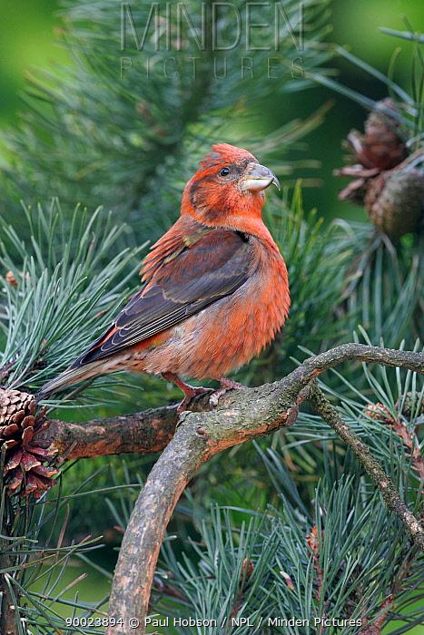Male Scottish crossbill (Loxia scotica) in Scots pine tree, ruffling feathers, scotland, UK  -  Paul Hobson/ npl