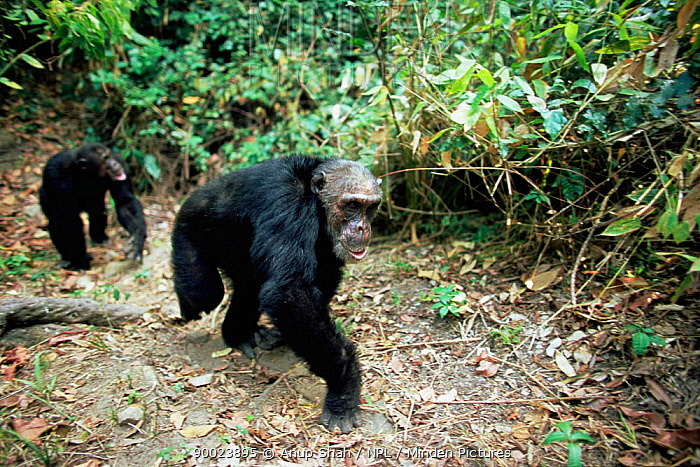 Eastern Chimpanzee (Pan troglodytes schweinfurthii) male Kalunde knuckle walking Mahale National Park, Tanzania  -  Anup Shah/ npl