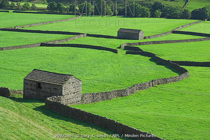 Yorkshire Dales barns with dry stone walls, UK  -  Gary K. Smith/ npl