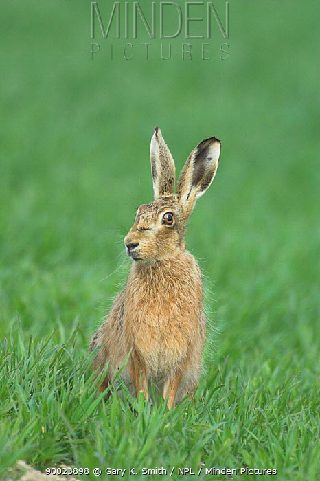 European Hare (Lepus europaeus) adult sitting in cereal field with head showing spring moult of fur, Norfolk, United Kingdom  -  Gary K. Smith/ npl