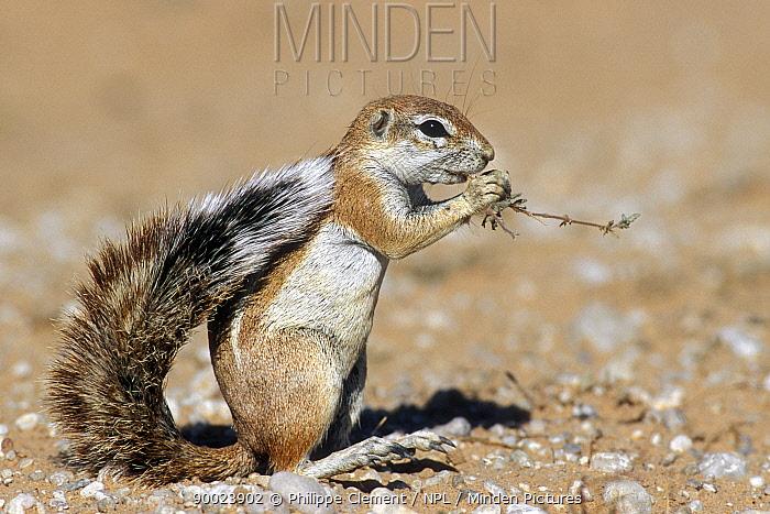 Cape Ground Squirrel (Xerus inauris) eating vegetation in the Kalahari dunes, Kgalagadi National Park, Kalahari desert, South Africa  -  Philippe Clement/ npl
