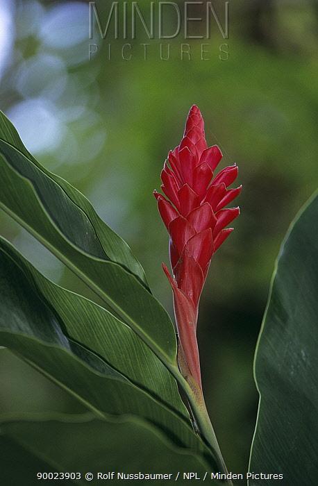 Red ginger (Alpinia purpurata) in bloom, Frenchman's Cove, Port Antonio, Jamaica  -  Rolf Nussbaumer/ npl