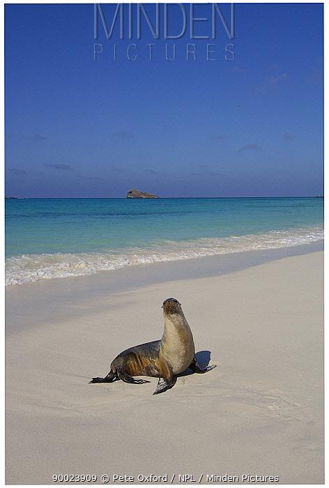 Galapagos sealion (Zalophus californianus wollebaeki) on beach Gardner Bay, Espa�ola, Hood Is, Galapagos America  -  Pete Oxford/ npl