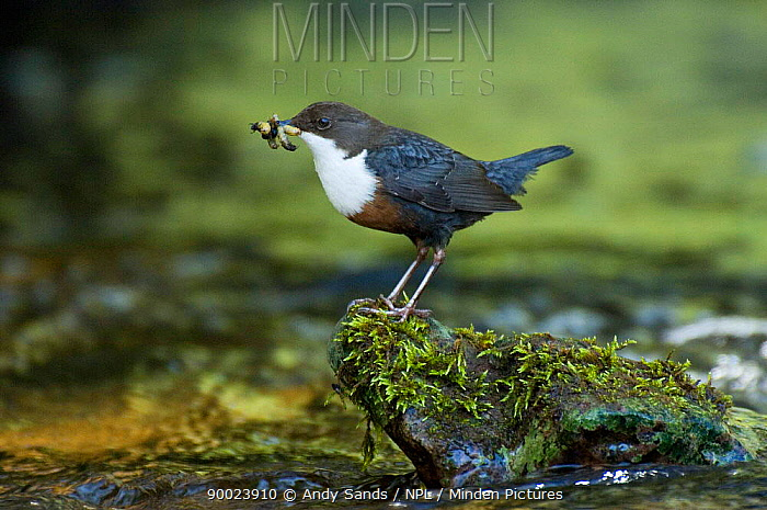 White-throated Dipper (Cinclus cinclus) perching on rock in river with food in beak, Wales, United Kingdom  -  Andy Sands/ npl