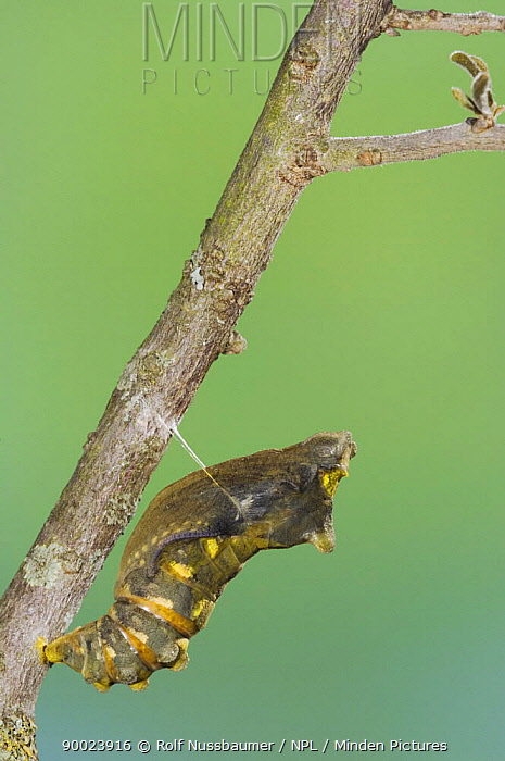 Pipe-vine Swallowtail (Battus philenor) chrysalis just before butterfly emerges, Hill Country, Texas sequence 1, 3  -  Rolf Nussbaumer/ npl