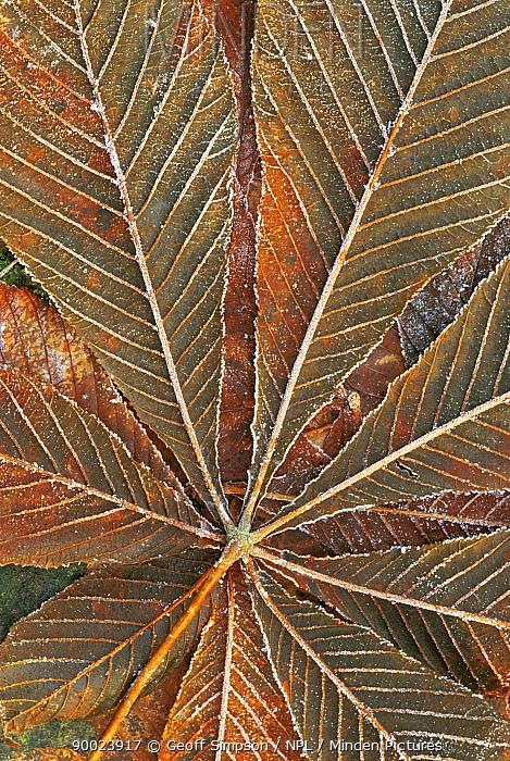 Horse Chestnut (Aesculus hippocastanum) leaf leaf with frost, United Kingdom  -  Geoff Simpson/ npl