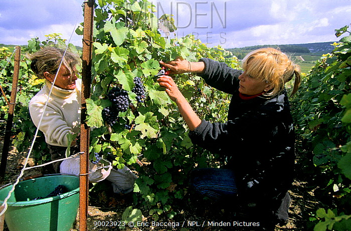 Women harvesting Pinot noir grapes during autumn, Chouilly, C?te de Blancs vineyard, Champagne country, France  -  Eric Baccega/ npl
