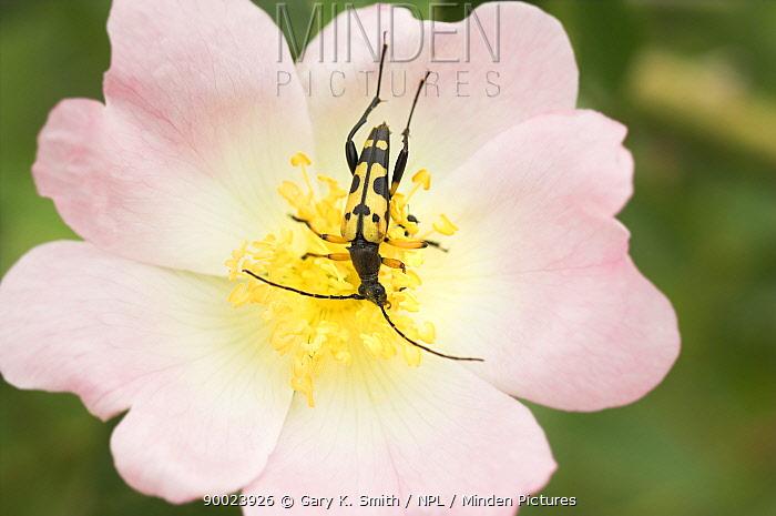 Spotted Longhorn Beetle (Strangalia maculata) feeding on Dog rose, Norfolk, United Kingdom  -  Gary K. Smith/ npl