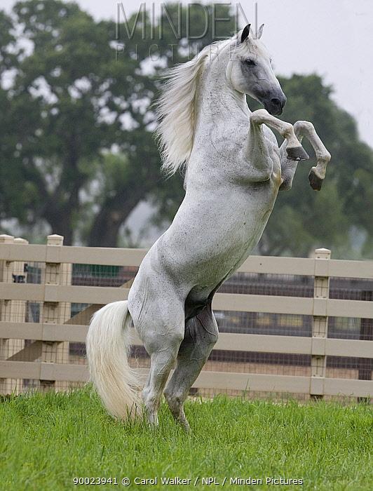Grey Andalusian stallion rearing on back legs in paddock, Ojai, California, USA  -  Carol Walker/ npl