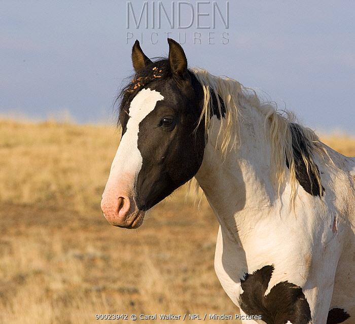 Wild horse, mustang, black pinto colt, McCullough Peaks, Wyoming, USA  -  Carol Walker/ npl