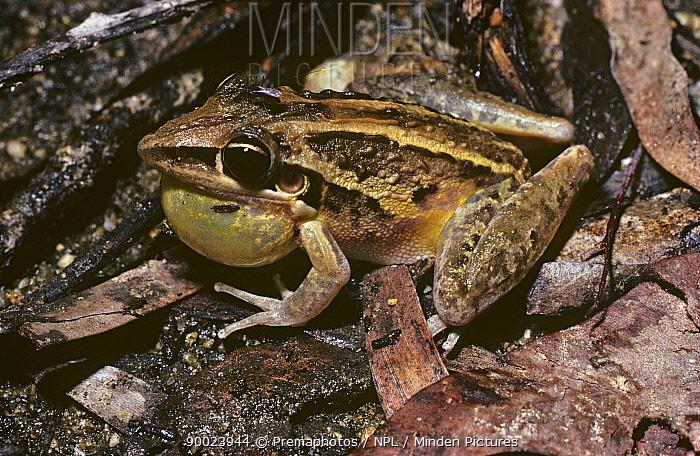 Australian Rocket Frog (Litoria nasuta) with inflated throat sac, calling A mosquito is sitting on its head Queensland, Australia  -  Premaphotos/ npl