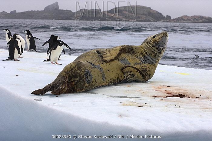 Chinstrap Penguin (Pygoscelis antarctica) and leopard seal (Hydrurga leptonyx) on an iceberg off the South Shetland Islands, Antarctica, Southern Ocean  -  Steven Kazlowski/ npl