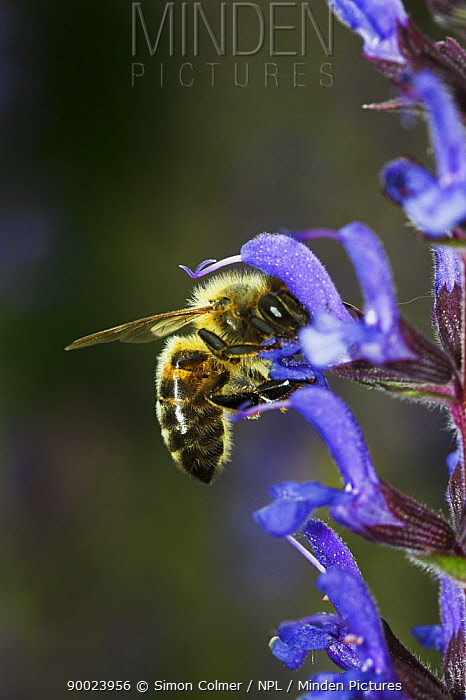 Honey Bee (Apis mellifera) feeding on Salvia flower, United Kingdom  -  Simon Colmer/ npl