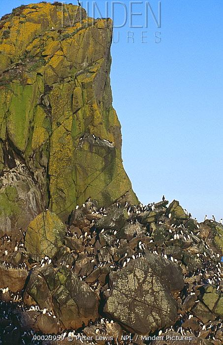 Common Murre (Uria aalge) nesting colony on cliffs, Scotland United Kingdom  -  Peter Lewis/ npl