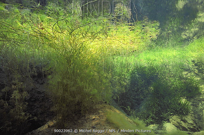Underwater landscape with spring growth in Spring creek, a tributary of the Saane river, Switzerland, February  -  Michel Roggo/ npl
