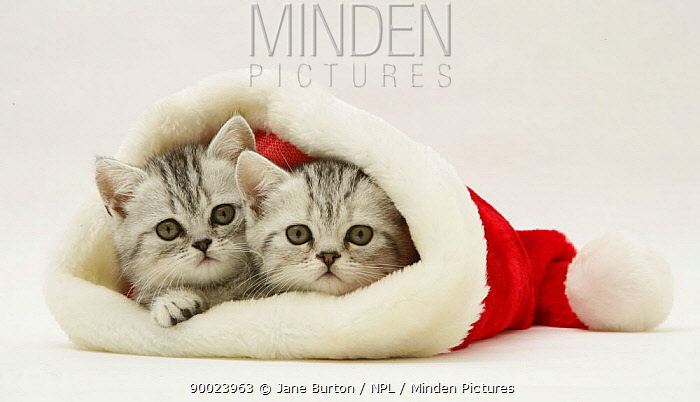 Domestic Cat (Felis catus)Pair of silver tabby kittens in a Father Christmas hat  -  Jane Burton/ npl