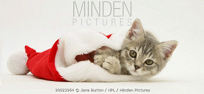 Domestic Cat (Felis catus)Grey Spice kitten in a Father Christmas hat  -  Jane Burton/ npl