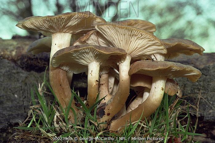Fried Chicken mushroom (Lyophyllum decastes) Hampshire, UK  -  George Mccarthy/ npl