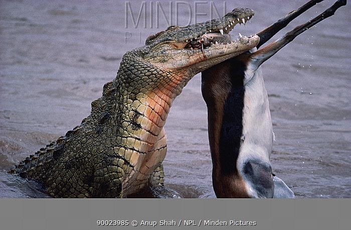 Nile Crocodile (Crocodylus niloticus) eating Thompsons gazelle in Mara River, Masai Mara, Kenya  -  Anup Shah/ npl