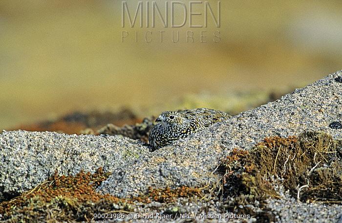 Rock Ptarmigan (Lagopus mutus) female camouflaged on granite rocks Cairngorms, Scotland United Kingdom  -  David Kjaer/ npl