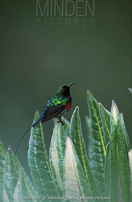 Scarlet-chested Sunbird (Nectarinia senegalensis) male on Giant lobelia (Nectarini senegalensis), Virunga National Park, CongoMale Scarlet chested sunbird  -  Jabruson/ npl