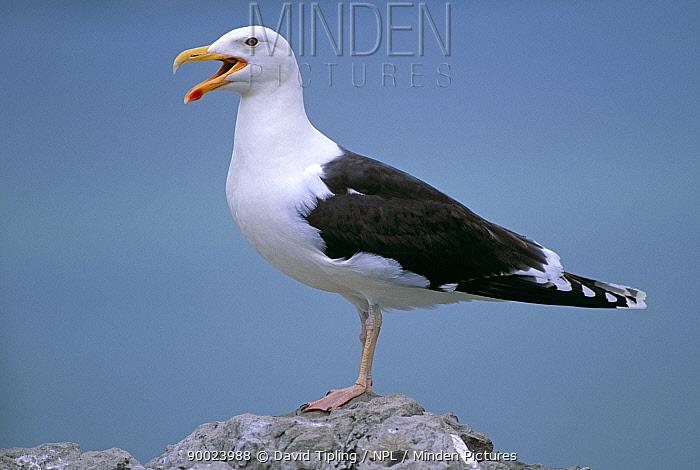 Great Black-backed Gull (Larus marinus) portrait  -  David Tipling/ npl