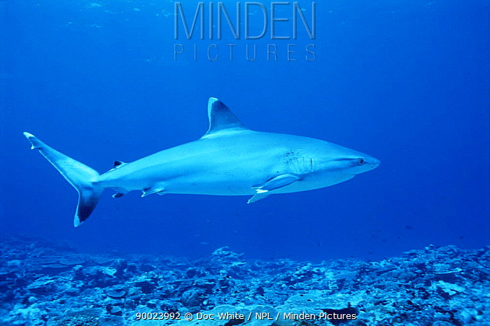 Silver-tip Shark (Carcharhinus albimarginatus)  -  Doc White/ npl