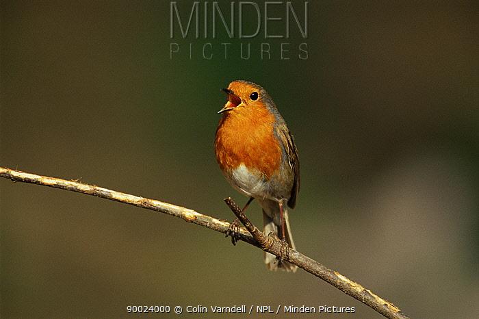 European Robin (Erithacus rubecula) on perch singing United Kingdom  -  Colin Varndell/ npl
