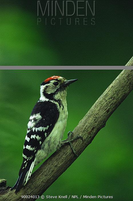 Lesser Spotted Woodpecker (Dendrocopos minor) male, United Kingdom  -  Steve Knell/ npl
