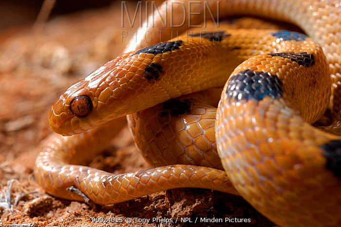 Namib tiger snake (Telescopus beetzii) South Africa  -  Tony Phelps/ npl