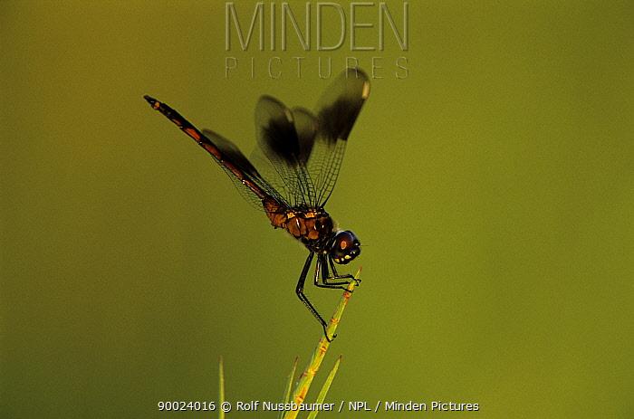 Four-spotted Pennant (Brachymesia gravida)  -  Rolf Nussbaumer/ npl