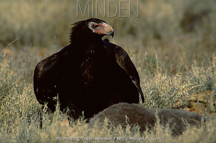 Wedge-tailed Eagle (Aquila audax) with prey, Sturt National Park, New South Wales, Australia  -  Owen Newman/ npl