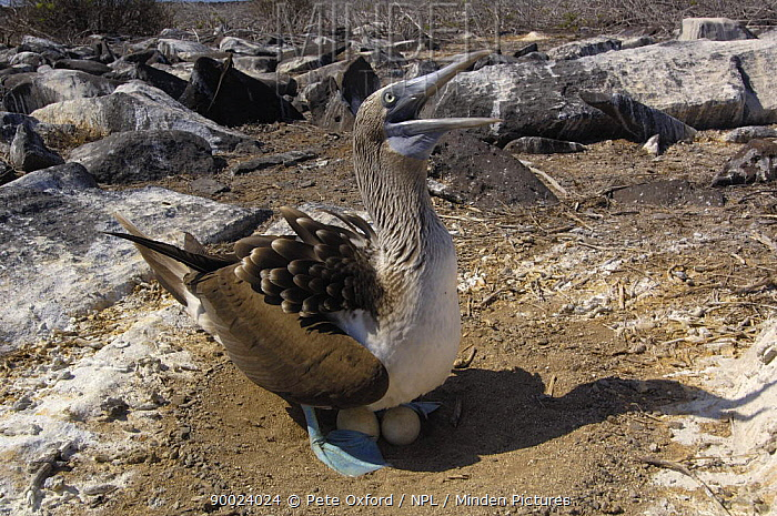 Blue-footed Booby (Sula nebouxii) at nest with eggs, San Cristobal Island, Galapagos, Ecuador  -  Pete Oxford/ npl