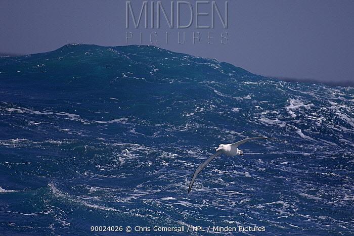 Wandering Albatross (Diomedea exulans) in flight over ocean Drake Passage, Southern Ocean, Antarctica  -  Chris Gomersall/ npl