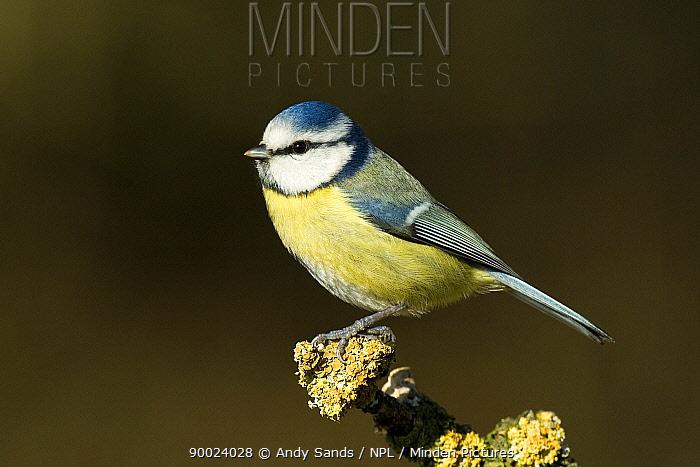 Blue Tit (Parus caeruleus) Hertforshire, United Kingdom  -  Andy Sands/ npl