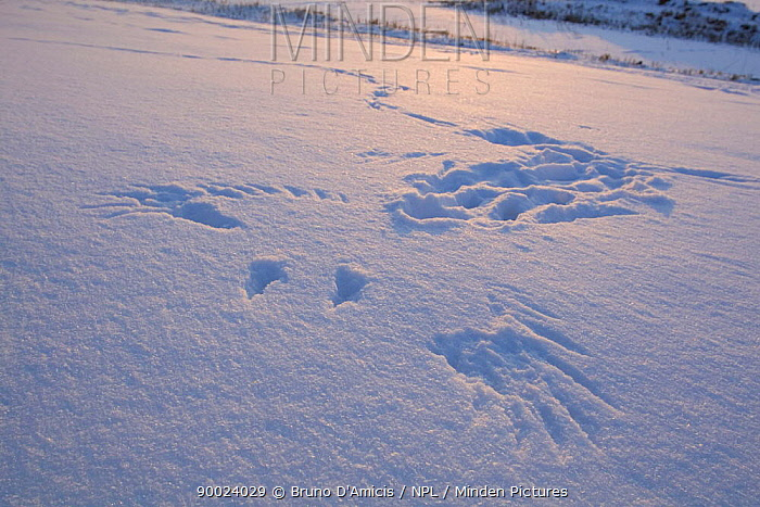 Hooded Crow (Corvus corone cornix) wing-impressions and tracks in snow, Germany  -  Bruno D'amicis/ npl